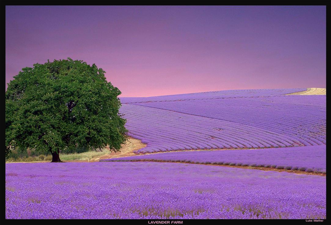 Lavender farm 2 by gearbox on deviantart - Show me the color lavender ...