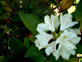 Magnolia.1