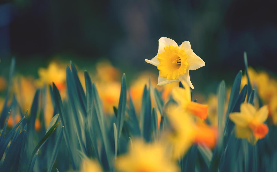 Daffodil by Roman89