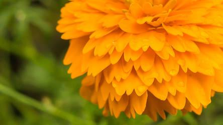 Marigold is Devine