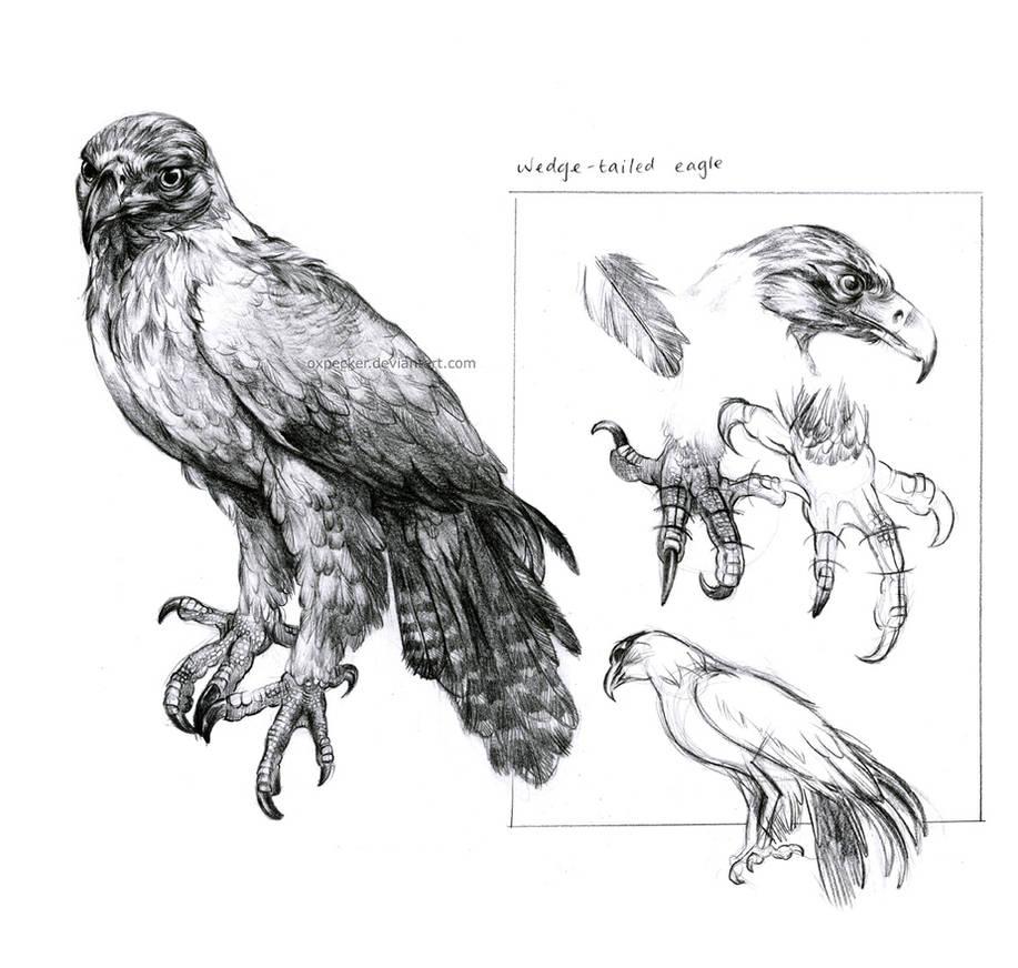 Wedge-tailed Eagle Study