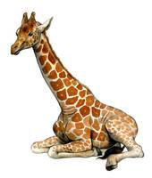 Giraffe by oxpecker