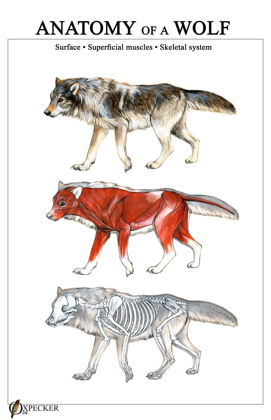 cow skull diagram anatomy of a wolf by oxpecker on deviantart  anatomy of a wolf by oxpecker on deviantart