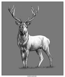 Red Deer by oxpecker