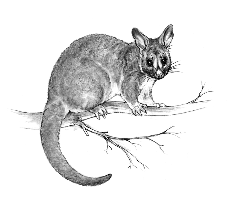 Brushtail Possum Sketch By Oxpecker On Deviantart