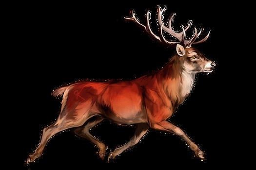 Trotting Red Deer