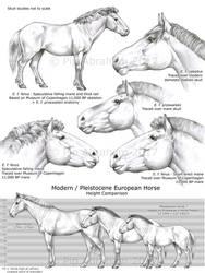European Wild Horse Anatomy by oxpecker