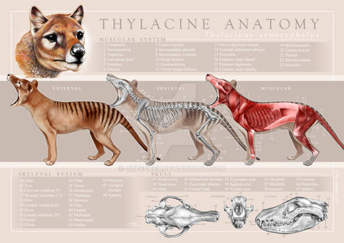 Thylacine Anatomy Poster