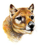Thylacine Portrait
