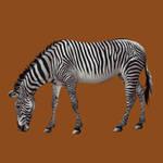 Grevy's zebra by oxpecker