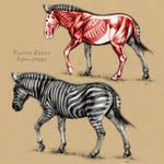 Plains Zebra Anatomy by oxpecker