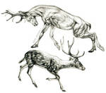Chital deer anatomy by oxpecker