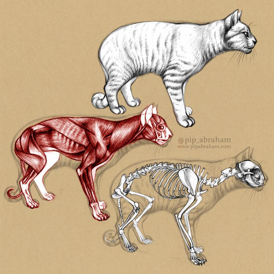 Domestic Cat Anatomy by oxpecker on DeviantArt