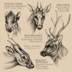 DrawDeercember day 16-19: Sika, tufted, brocket... by oxpecker