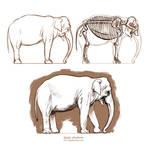 Anatomy study - Asian elephant