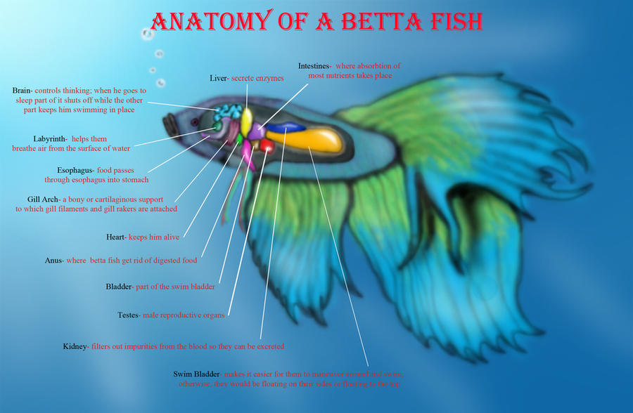 Anatomy of a Betta Fish by belle3245 on DeviantArt