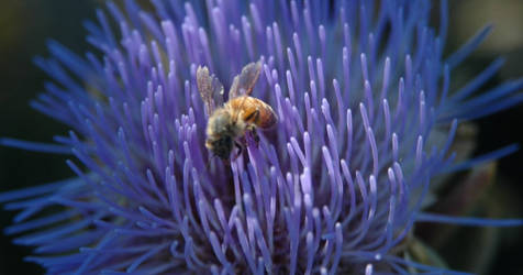 Bee in Artichoke Flower by Baffler