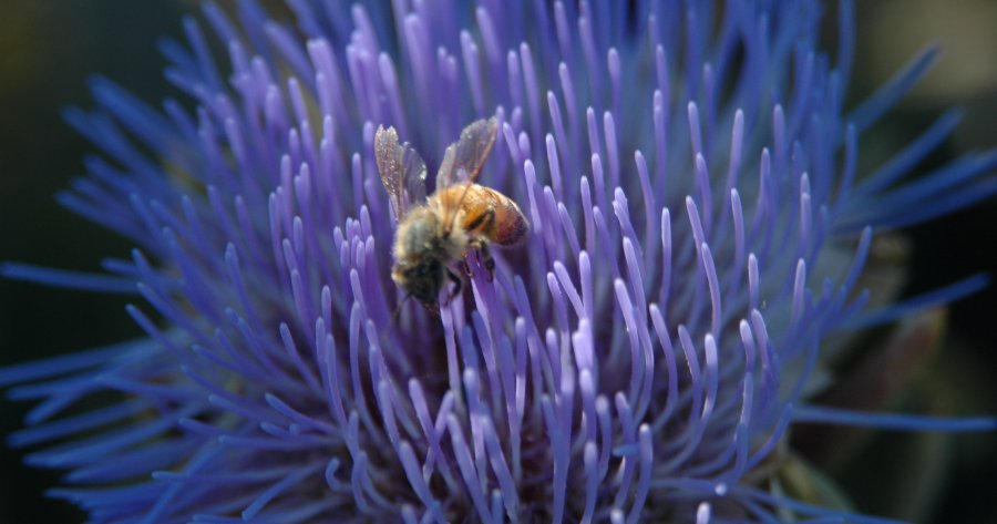 Bee in Artichoke Flower
