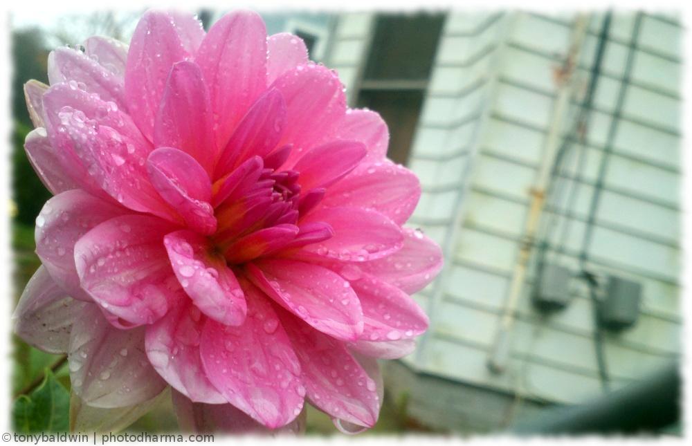 flower by abaldwin