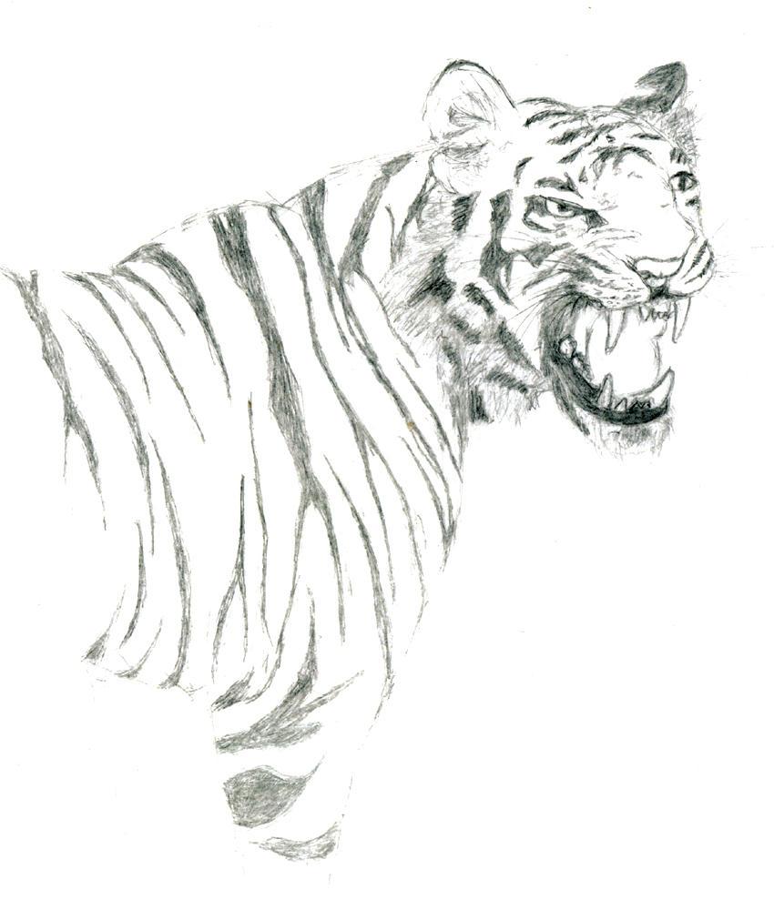 tiger-pencil sketch by...