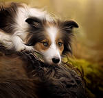 Border Collie by PeterPawn