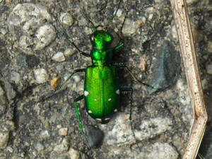 Green Tiger Beetle.