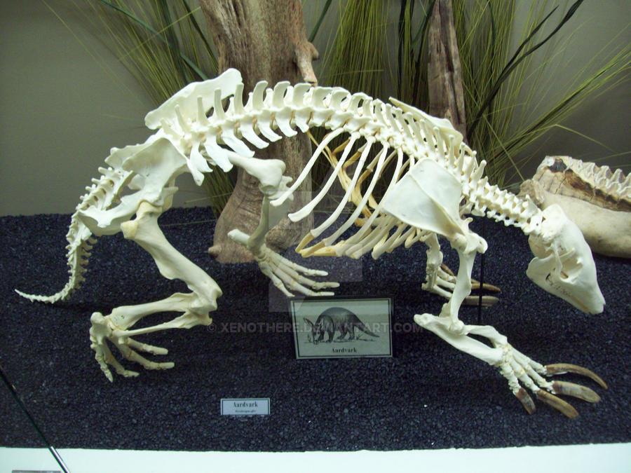 https://img00.deviantart.net/1979/i/2015/116/9/a/moo__aardvark_skeleton_by_xenothere-d4ewsl9.jpg