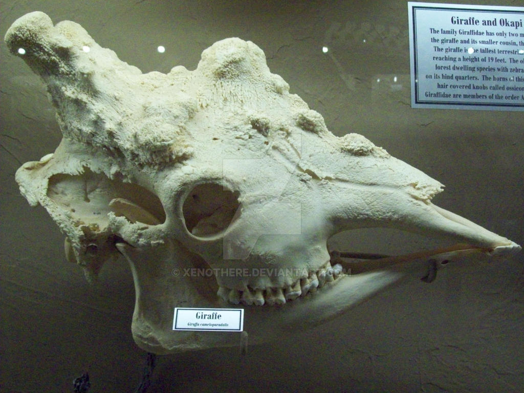 http://img09.deviantart.net/bf1e/i/2015/116/a/7/moo_giraffe_skull_by_xenothere-d4ewx1j.jpg
