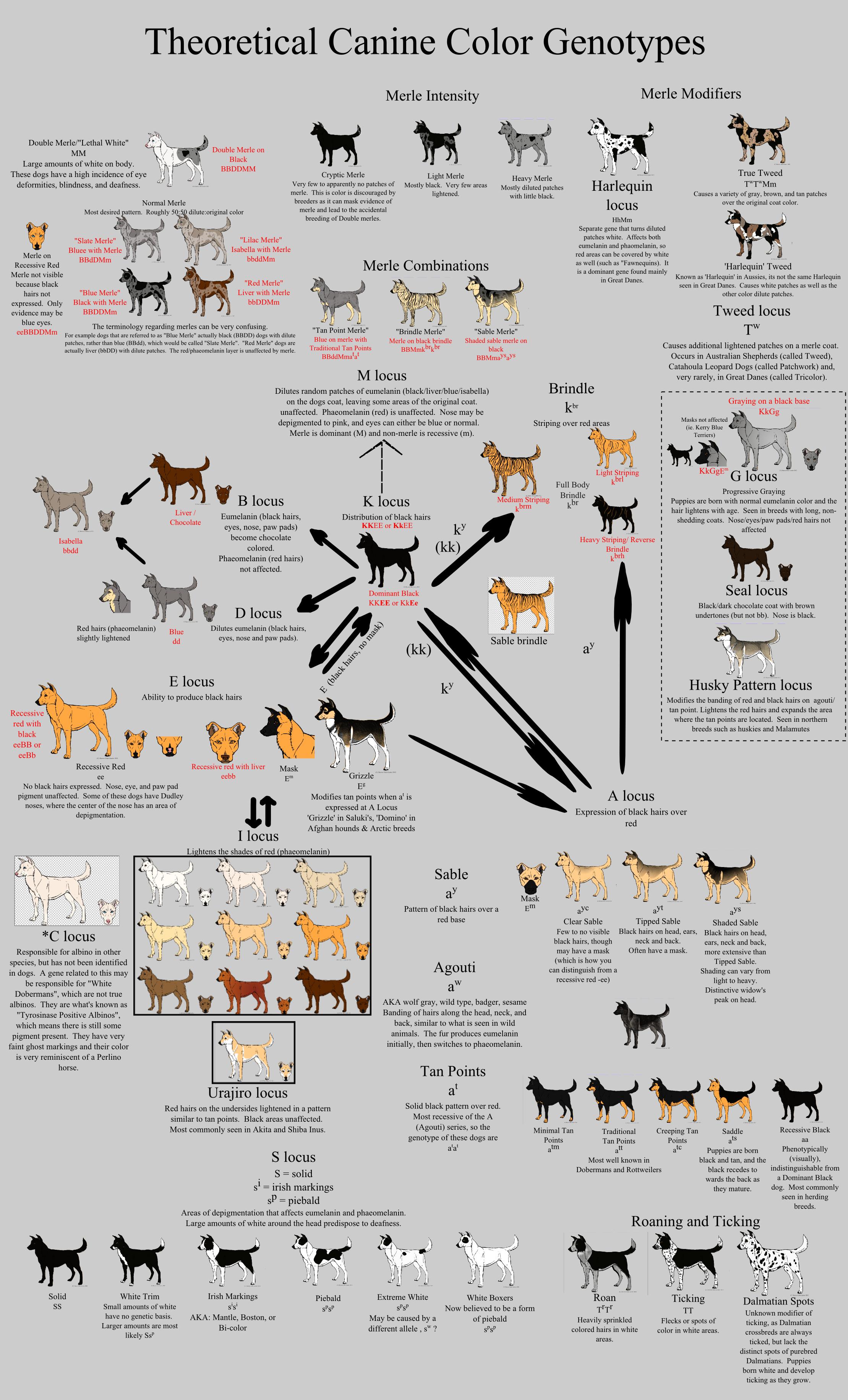 Génétique des robes et couleurs chez le chien - Page 4 Allele_guide___canine_color_by_xenothere-d5hc9y0