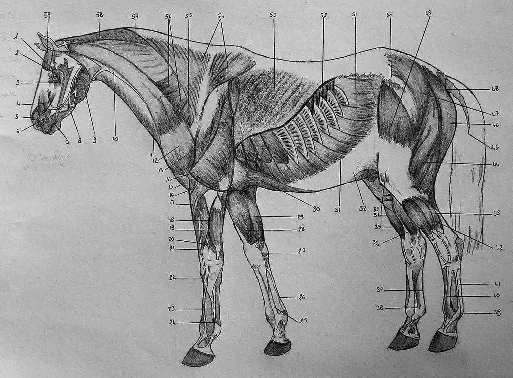 Drawing 41 - Horse anatomy (2) by CelticWarBoy on DeviantArt