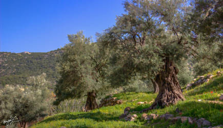 Romanian Olive trees by myaz000