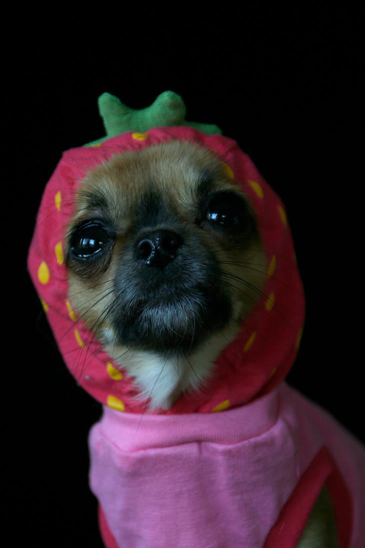 strawberry chihuahua strawberry chihuahua by unicornx on deviantart 9454