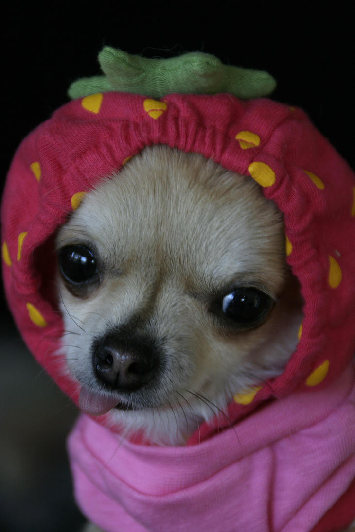 strawberry chihuahua strawberry chihuahua ii by unicornx on deviantart 5591