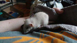 Heimdall the Rat