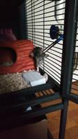 Tyr the Rat