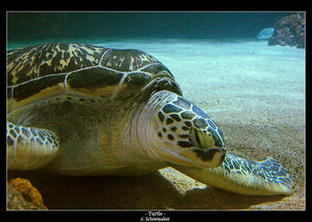 Turtle by Jna1985