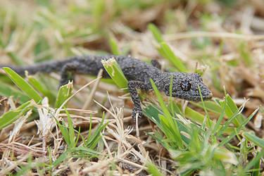 Eye of the Gecko- Black