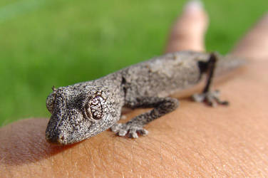 Spiny Tail Gecko 1