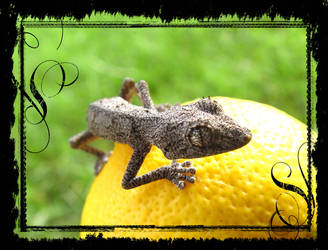 Spiny Tail Gecko2