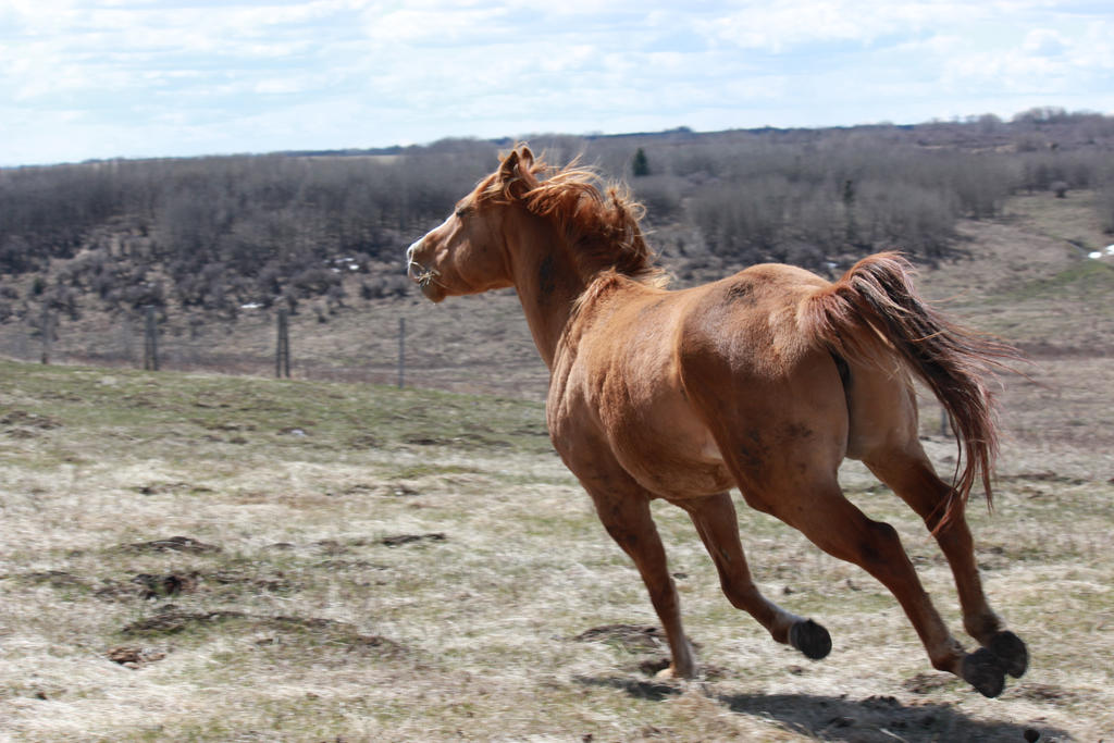 Chestnut horse running away 3 feet airborn head up by ... - photo#25