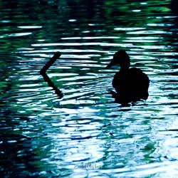 The duck and the stick