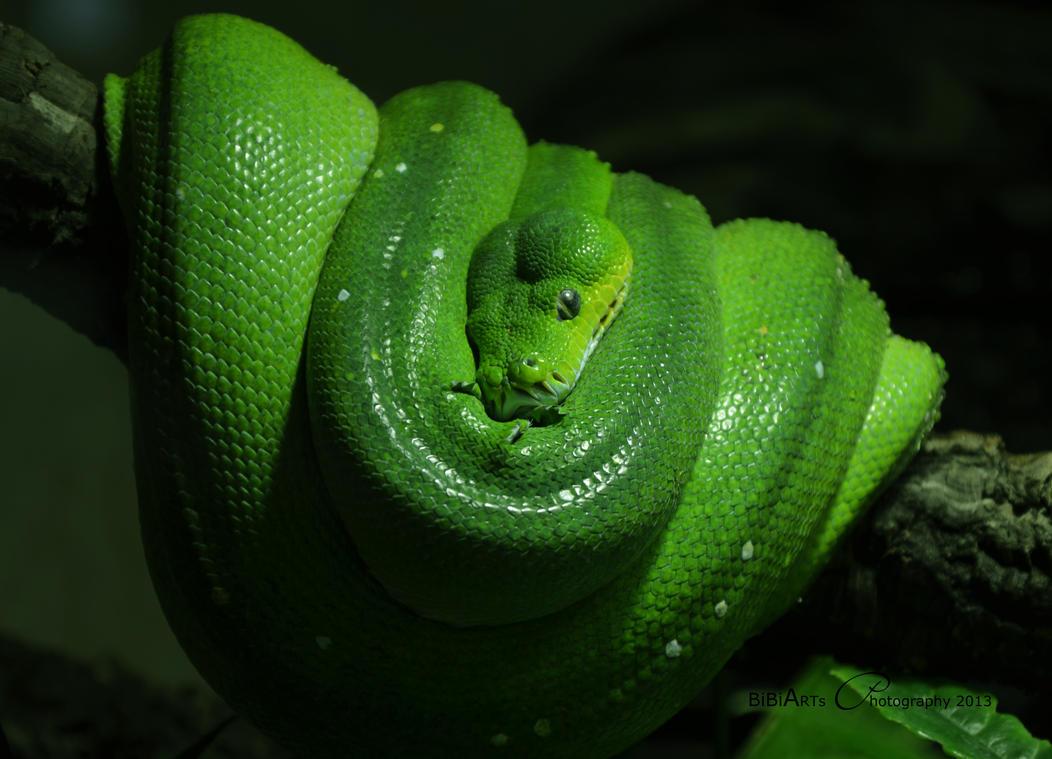 Green Tree Python  2171 by BiBiARTs