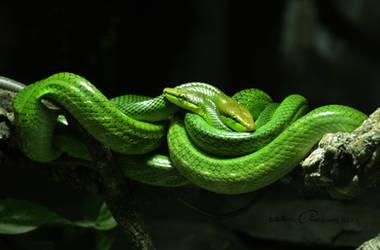 Green Ratsnake by BiBiARTs