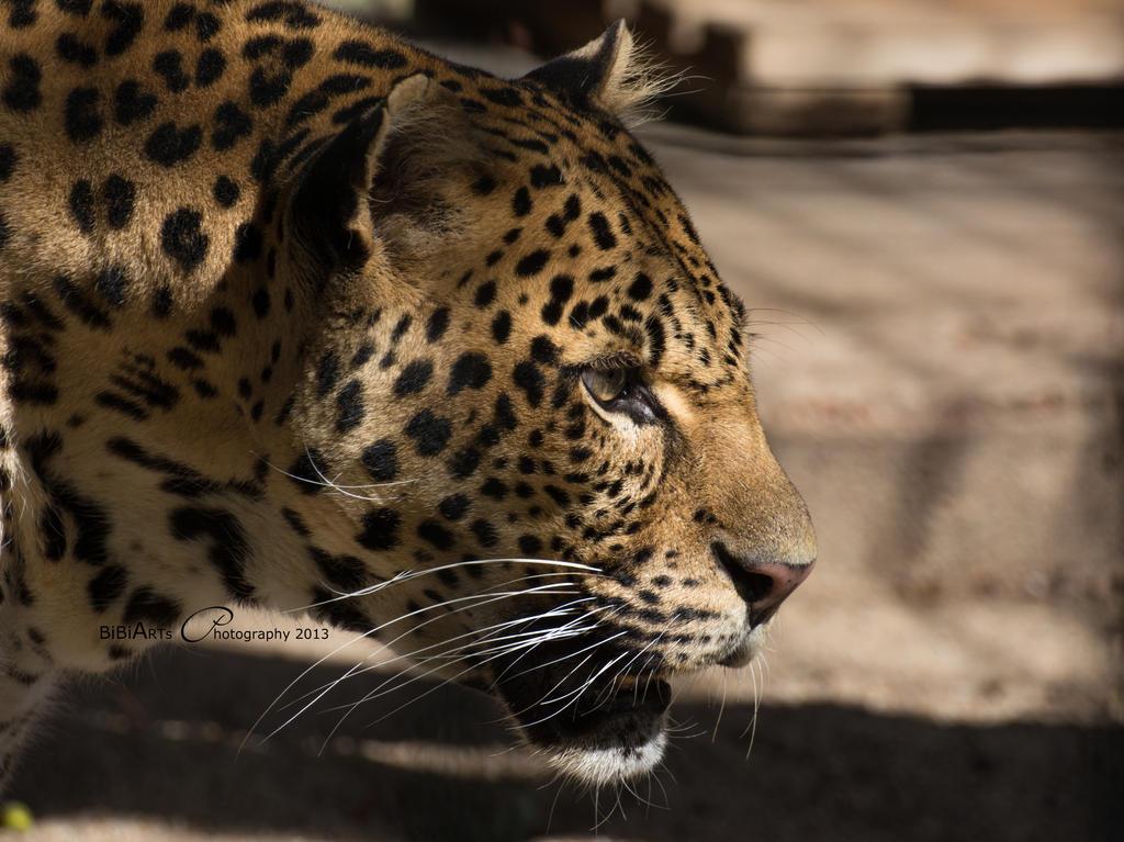 Panthera Pardus Melas  D71-3789 by BiBiARTs