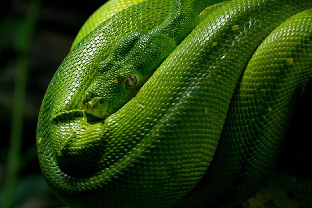 Morelia Viridis Snake D71-4235 by BiBiARTs