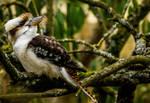 Kookaburra 2 by TiaRose