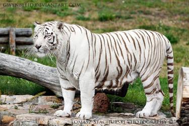 White bengal tiger by Gwynbleid