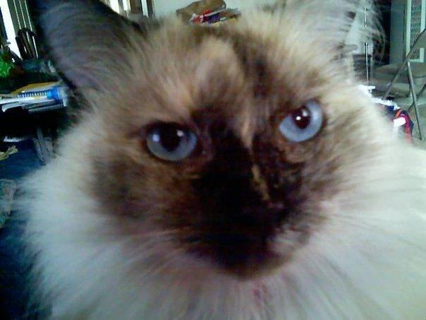 Patches Blue Eyes, Nov'03 - 11 Sep'15 by WafflesToo