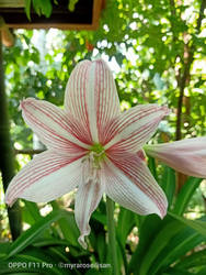 red stripe flower