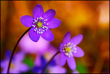 Spring flowers by eswendel